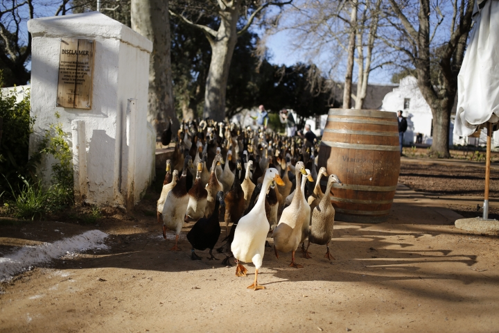 South African vineyard's duck parade doubles as pest control