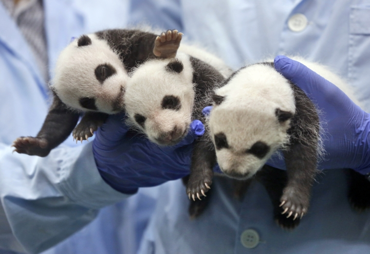 China plans panda preserve 3 times size of Yellowstone park